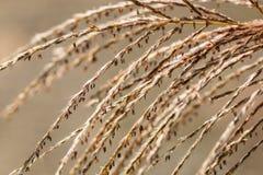 Floridulus de Miscanthus, herbe argentée japonaise Photo libre de droits