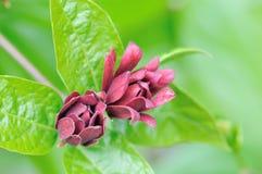 Floridus de Calycanthus photo stock