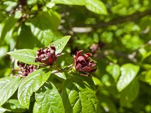 Floridus del Calycanthus de Sweetshrub imágenes de archivo libres de regalías