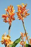 Floriferous cane Royalty Free Stock Images