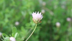 Florintia memo. The flower is shot in bulgaria in jambol stock footage