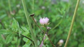 Florintia memos. The flower is shot in bulgaria in jambol stock footage