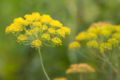 Florishing草本莳萝在保加利亚(Anethum Graveolens) 库存图片