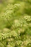 Florishing herb dill in Bulgaria (Anethum Graveolens ) Royalty Free Stock Image