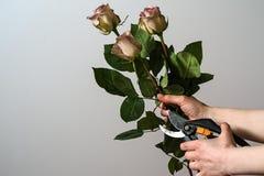 Florist übergibt den Schnitt des Bündels frischer rosa Rosen Lizenzfreies Stockfoto
