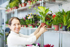 Florist with Dieffenbachia  at  store Royalty Free Stock Photo