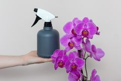 A florist girl holds a bottle with water sprayer near a purple orchid. A florist girl holds a bottle with water sprayer near a purple orchid Stock Photo