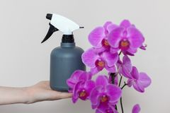 A florist girl holds a bottle with water sprayer near a purple orchid. A florist girl holds a bottle with water sprayer near a purple orchid Stock Images