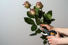 Florist hands cutting bunch of fresh pink roses. Florist hands  cutting bunch of fresh pink roses Royalty Free Stock Photo