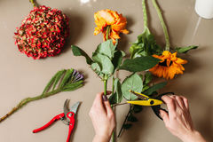 Florist hands cutting rose with garden scissors Royalty Free Stock Images