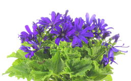 Florists Cineraria Stock Images