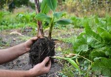 Florist Transplant Small Banana Tree. Royalty Free Stock Photography