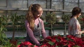 Florista de sexo femenino sonriente de los jóvenes en el delantal que muestra macetas con la poinsetia roja al cliente femenino L almacen de video