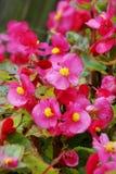Floristas que florecen la flor de la begonia Imagenes de archivo