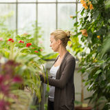 Floristenfrau, die im Gewächshaus arbeitet Lizenzfreies Stockbild