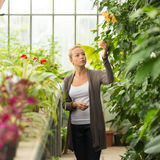 Floristenfrau, die im Gewächshaus arbeitet Stockbild