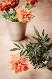 Floristic background with marigold flower on wooden background. Floristic background with marigold flower on wooden background, selective focus, rustic style Royalty Free Stock Images