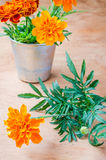 Floristic background with marigold flower on wooden table. Floristic background with marigold flower on wooden background, selective focus, rustic style Stock Image