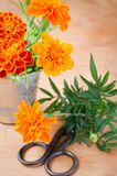 Floristic background with old vintage scissors and marigold flower. Floristic background with old vintage scissors and marigold flower on wooden background Stock Image