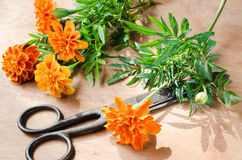 Floristic background with old vintage scissors and marigold flower. Royalty Free Stock Image