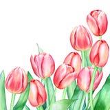 Floristic sammansättning med blommor för tulpan för vattenfärghand utdragna röda rosa på vit bakgrund arkivbilder