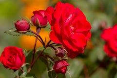 floristry Garten, dekorative Blumen, flaumig, mit den schönen Blumenblättern stockbilder