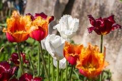 floristry Garten, dekorative Blumen, flaumig, mit den schönen Blumenblättern lizenzfreies stockbild
