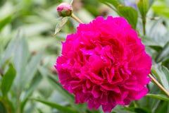 floristry Garten, dekorative Blumen, flaumig, mit den schönen Blumenblättern stockfotos