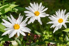 floristry Garten, dekorative Blumen, flaumig, mit den schönen Blumenblättern lizenzfreie stockbilder