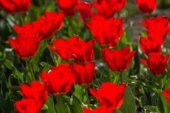 floristry Garten, dekorative Blumen, flaumig, mit den schönen Blumenblättern stockfoto