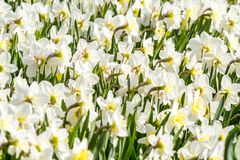 floristry Jardim, flores decorativas, macias, com pétalas bonitas fotografia de stock royalty free