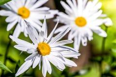 floristry Trädgård dekorativa blommor som är fluffiga, med härliga kronblad arkivfoto