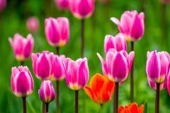 floristry Tuin, decoratieve bloemen, pluizig, met mooie bloemblaadjes royalty-vrije stock foto's