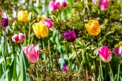 floristry Tuin, decoratieve bloemen, pluizig, met mooie bloemblaadjes stock afbeelding