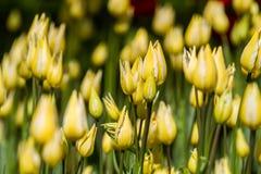 floristry Tuin, decoratieve bloemen, pluizig, met mooie bloemblaadjes royalty-vrije stock afbeelding