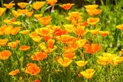 floristry Tuin, decoratieve bloemen, pluizig, met mooie bloemblaadjes royalty-vrije stock foto