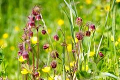 floristry Tuin, decoratieve bloemen, pluizig, met mooie bloemblaadjes stock afbeeldingen