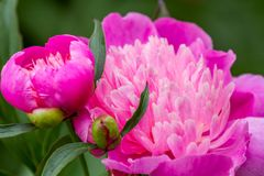 floristry Tuin, decoratieve bloemen, pluizig, met mooie bloemblaadjes royalty-vrije stock fotografie