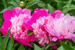 floristry Tuin, decoratieve bloemen, pluizig, met mooie bloemblaadjes stock fotografie