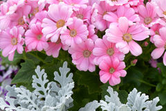 Florists cineraria Stock Photos