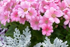 Florists cineraria Stock Photos