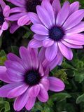 Florists cineraria. The perennial herb, often cultivated for 1-2 years, is divided into high species and dwarf species, 20-90 cm. The whole plant is microhairy royalty free stock photo