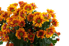 Florists daisy Stock Image