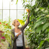 Florists woman working in greenhouse. Royalty Free Stock Images