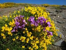 Flors Morat-Groc.Mont Chullo. Pt.Ragua Stock Photos