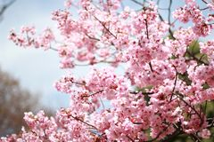 florwes de sakura em Japão Fotografia de Stock