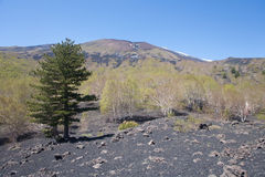 Flory blisko szczyt Etna wulkan w Sicily Obraz Royalty Free