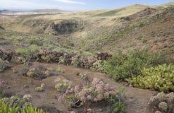Flory Gran Canaria - Aeonium percarneum Zdjęcia Stock