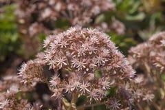 Flory Gran Canaria - Aeonium percarneum Obraz Royalty Free