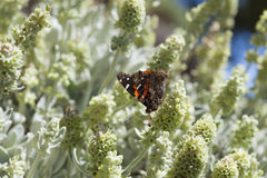 Flory Gran Canaria - Sideritis dasygnaphala Zdjęcie Stock